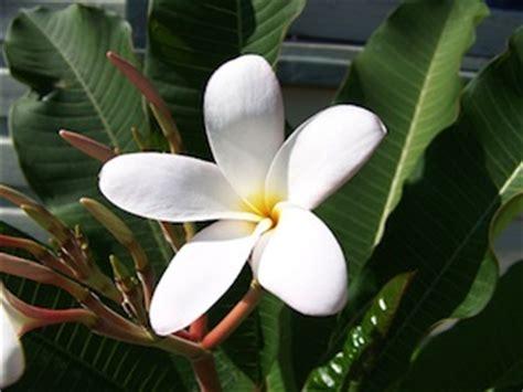 1325003905 fleurs tropicales calendrier anniversaire frangipanier un arbuste exotique pour l int 233 rieur