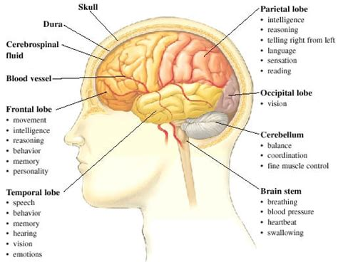 three main sections of the brain fun human brain facts for kids