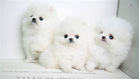 pomeranian puppies for sale in killeen adorable and healthy siberian husky puppies for sale killeen for sale chattanooga