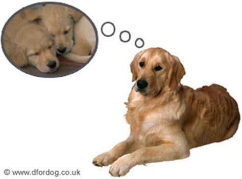 phantom pregnancy in dogs phantom pregnancy in dogs pseudopregnancy