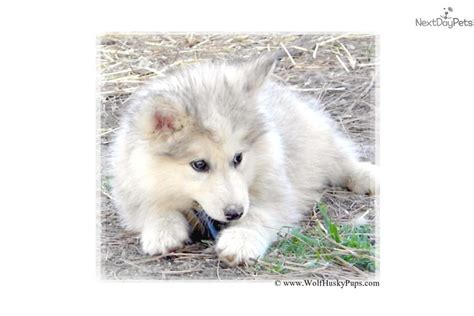 wolf puppies for sale in california wolf puppies for sale in california breeds picture