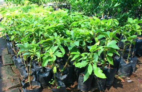 Harga Bibit Pohon Mangga Alpukat jual bibit alpukat harga murah