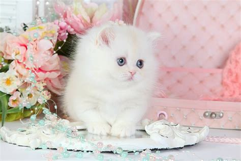 rug hugger kittens for sale adorable rug hugger kitten for sale