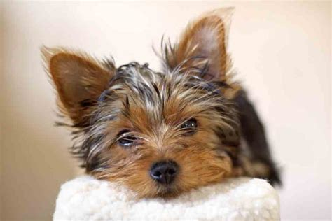 yorkie puppy treats terrier canned food photo