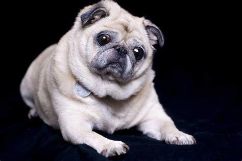 when do pug puppies open their miniature pug