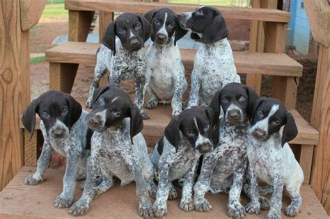 german haired pointer puppies german shorthaired pointer puppies doglers