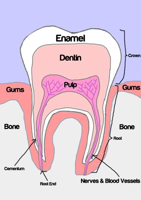 teeth diagram ks2 marc summers no brain damage but quot half my was wiped
