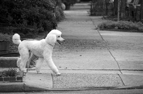 standard poodle smart dogs that don t shed might