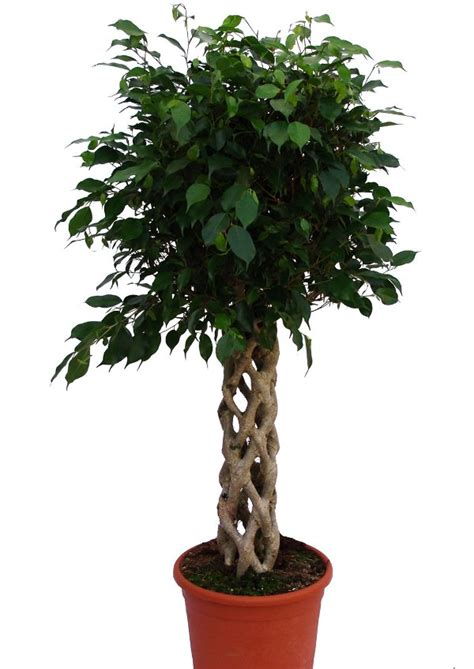 Low Light Indoor Tree | low light indoor plants you can decorate with