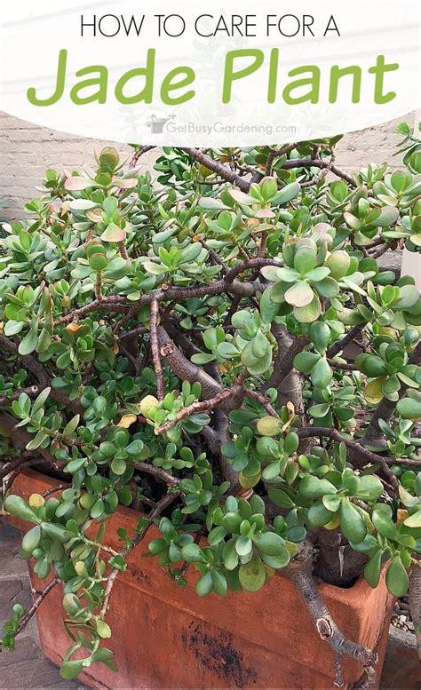 best 25 jade plants ideas on pinterest jade tree jade succulent and jade plant bonsai