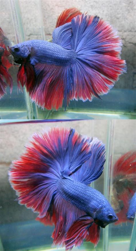 exotic fish ideas  pinterest beautiful fish