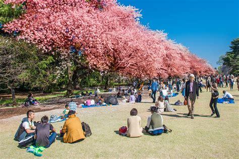 airbnb mata uang rupiah bunga sakura ini waktu dan tempat terbaik melihatnya di