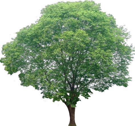 imagenes png vegetacion 20 im 225 genes de 225 rbol png pterocarpus02l cartoon