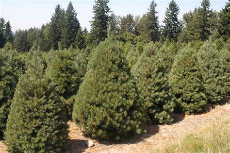 Tree profile scots scotch pine natural christmas tree