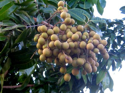 how to grow longan fruit trees nature notes the longan tree flamingo musings