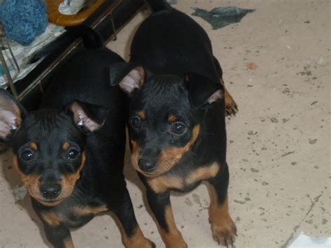 chocolate miniature pinscher puppies for sale miniature pinscher dogs for adoption breeds picture