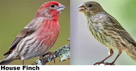 top 28 house finch purple finch identification keys