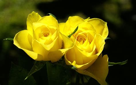 free wallpaper yellow roses yellow rose wallpapers 3d hd wallpapers