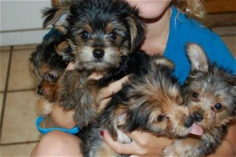 free puppies winston salem nc winston salem today tea cup yorkie puppies for free adoption
