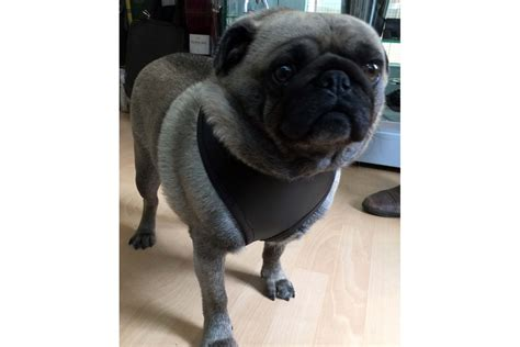 pug harness uk leather pug harness acorn saddlery master saddlers and supplier of and