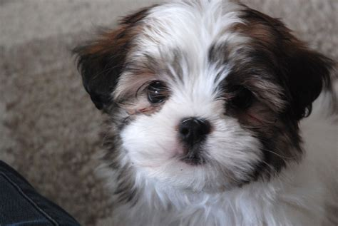 boy names for shih tzu 70 most popular shih tzu names