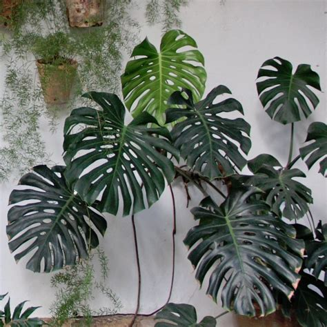 bulk tropical fruit salad swiss cheese plant monstera