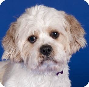 shih tzu cavalier mix kevin adopted chicago il cavalier king charles spaniel shih tzu mix