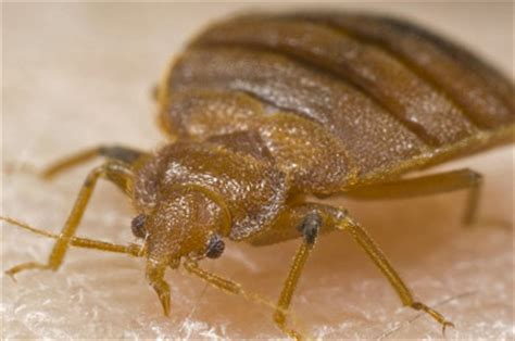bed bugs  rid