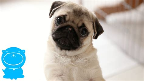 pug vidios this pug puppy s is priceless look at him listen pug