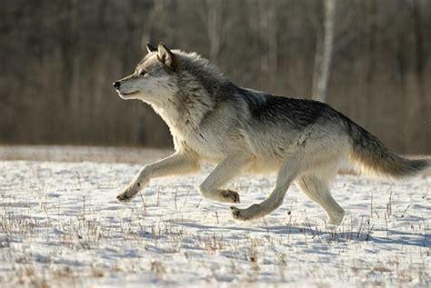 imagenes de animales rapidos cu 225 les son los animales m 225 s r 225 pidos del mundo uncomo