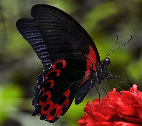 red and black butterflies red butterfly species black and red red flower