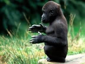 gorilla gorilla the biggest animals kingdom