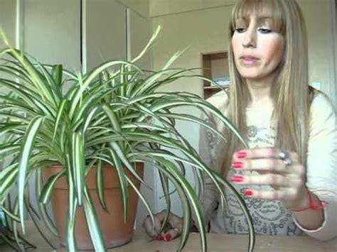 cuidado plantas de interior plantas de interior cintas cuidados