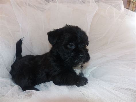 shih tzu rescue glasgow scottie dogs for adoption in uk breeds picture