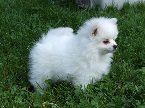 pomeranian rescue alabama pomeranian puppies rescue breeds picture