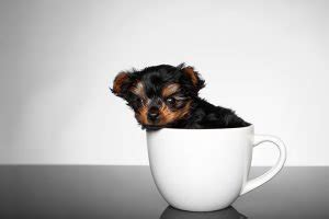 all about teacup yorkies all about puppies