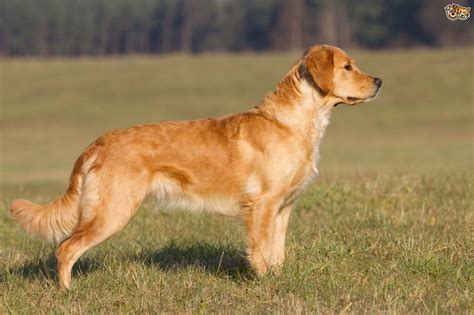 what are golden retrievers bred for different types of breeds golden retriever