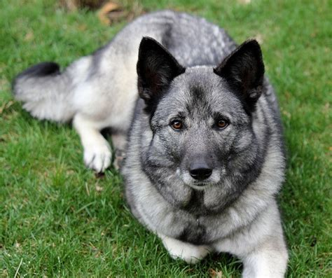 Swedish Colors by About Dog Norwegian Elkhound