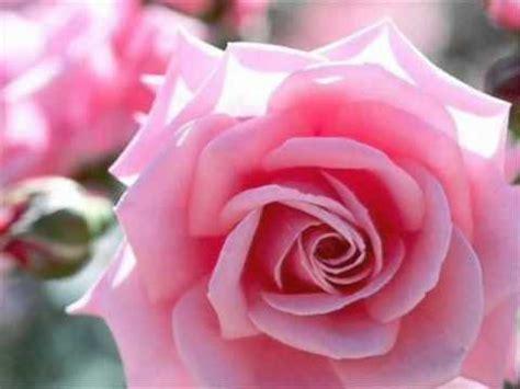 imagenes de flores para mi amor mil rosas para mi y para ti youtube