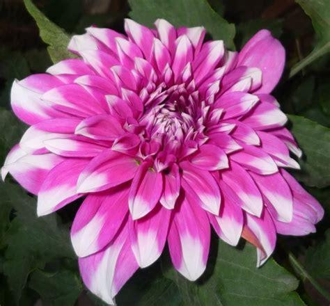 significato fiori crisantemo significato significato fiori crisantemo