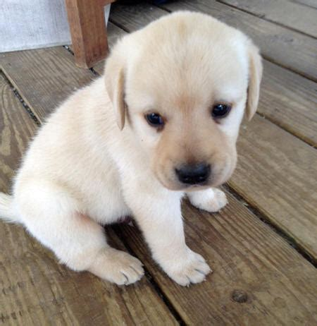 how much sleep does a 4 month puppy need bentley the labrador retriever puppies daily puppy