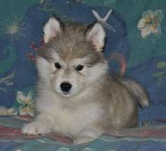 alusky puppies for sale 1000 images about alaskan malamute puppies on puppies for sale pups for