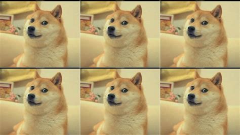 What Breed Is Doge Meme - for the love of doge please do not get a shiba inu