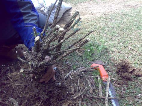 Tanaman Hias Bonsai Seribu Bintang 027 tahapan membuat bonsai boxus kios bunga kendil