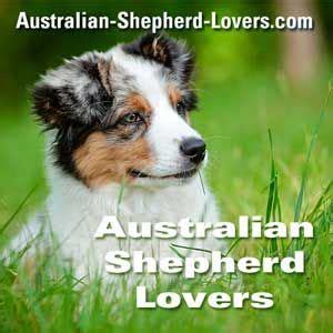 australian shepherd puppies ct 25 best ideas about australian shepherd breeders on mini aussie shepherd