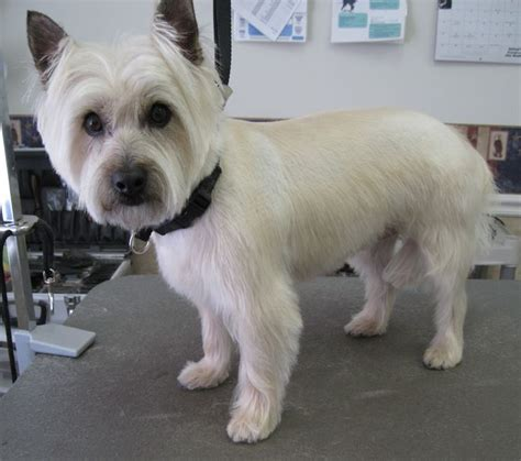 Is It Ok To Cut A Cairn Terrieris Har Short Then Re Grow It | cairn terrier after grooming this is a great cut for or
