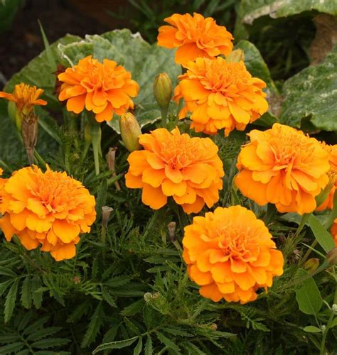 how to grow marigolds tagetes
