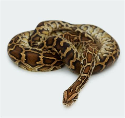 the turtle sammy the snake and billy bob the bumble bee books curled reticulated python www snaketype snakes