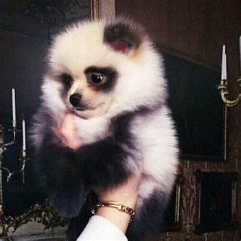 pomeranian like a this is a pomeranian but he looks like a panda mine poms