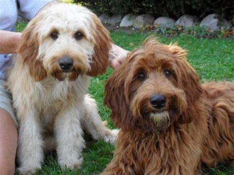 setter puppies mn goldendoodle breeders in minnesota freedoglistings breeds picture